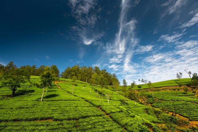 Tea plantations of Sri Lanka at sunny day